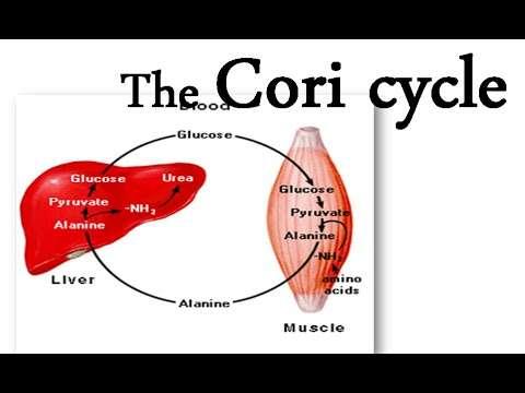 Ο μεταβολικός κύκλος του Cori (ή του Γαλακτικού Οξέος)